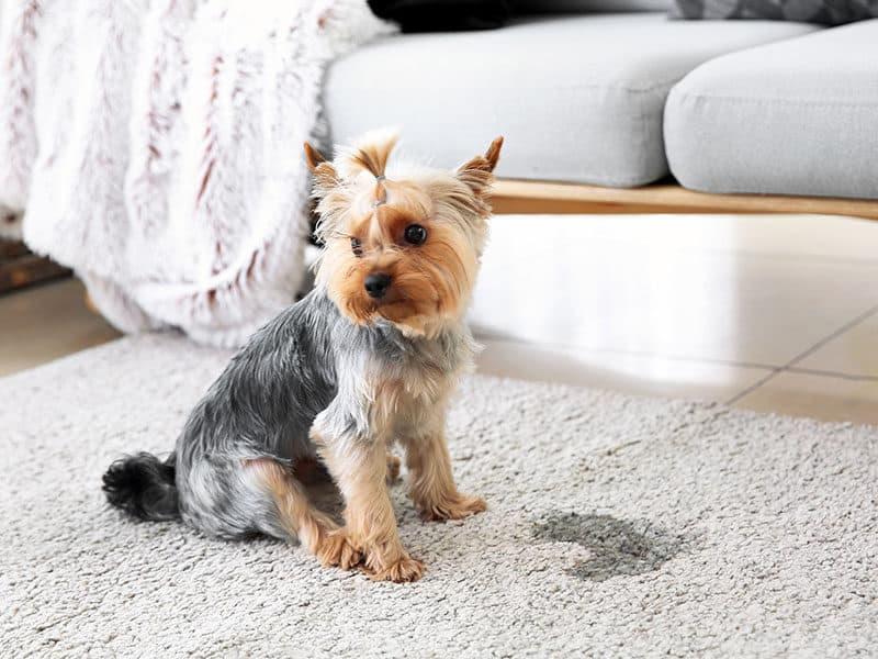 Carpet Cleaner For Old Pet Urine