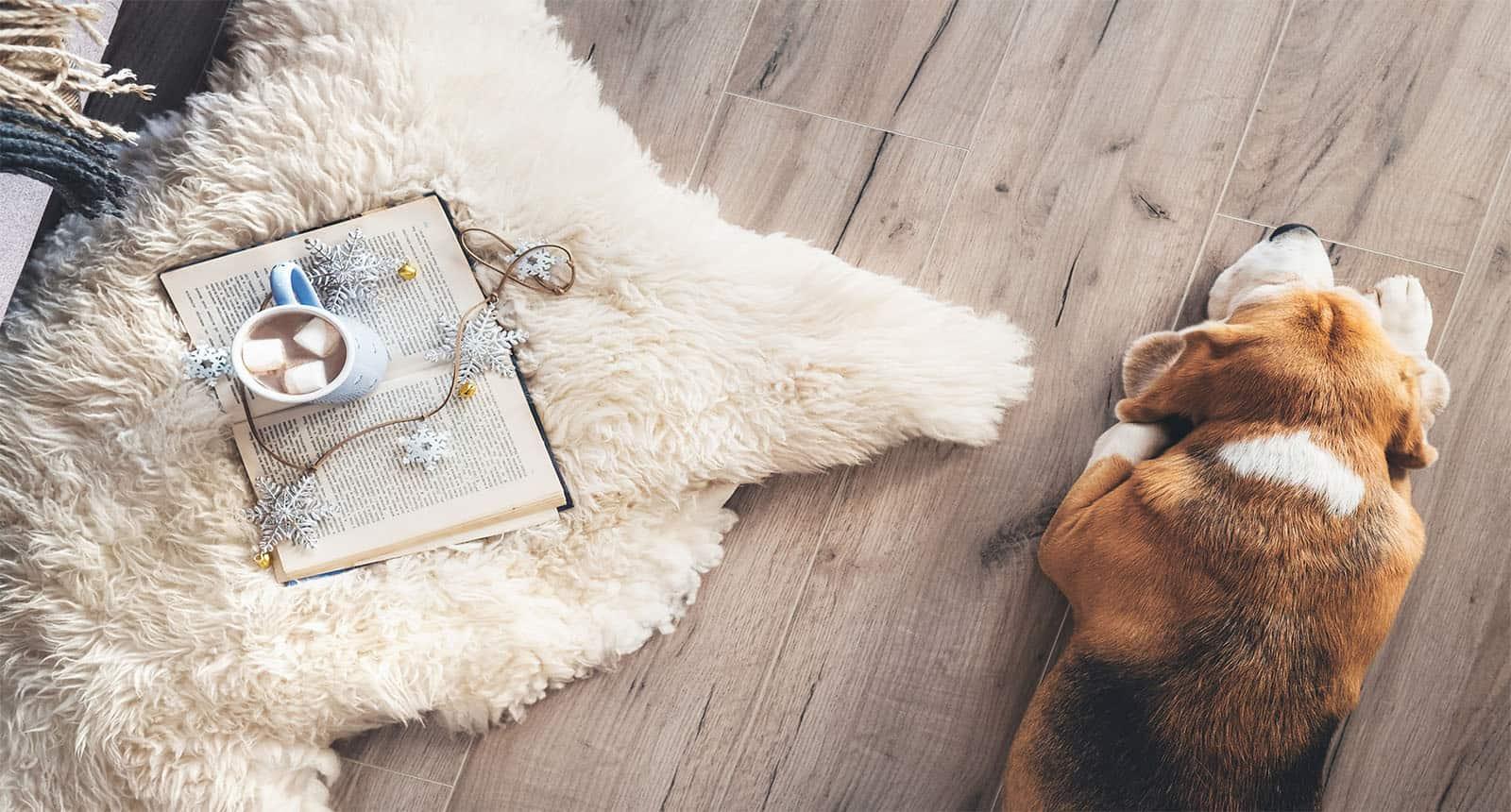 Beagle Lies On Laminat